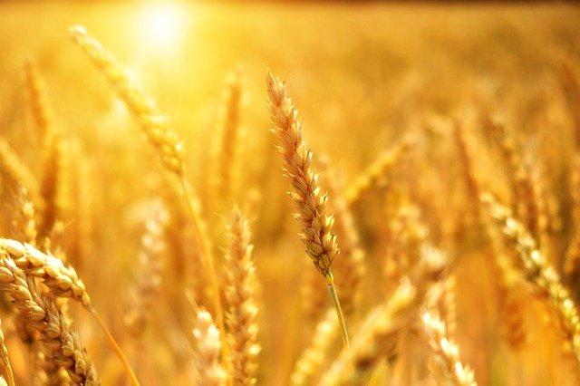 wheat-3506758_640